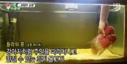 강아지처럼 주인 따르고 쓰다듬을 수 있는 물고기
