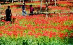 [THIS WEEK]이번 주말엔 단풍 말고 가을꽃 구경