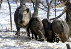 멧돼지 30만 마리와 공존하려면