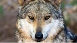 [에코 파일] 무술년 맞이 개의 과학···늑대는 어떻게 개가 되었나