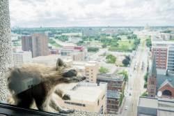 [<!HS>서소문사진관<!HE>]'스파이더맨'처럼 25층 고층 건물 등반한 라쿤!