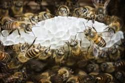 95%가 사라진 '멸종 위기' 토종 꿀벌…되살릴 수 없나
