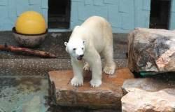 [서소문사진관]국내 유일 북극곰 '통키' 마지막 여름나기