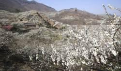 [서소문사진관]전남 광양 매화 만개 …봄꽃 전선은 북상 중