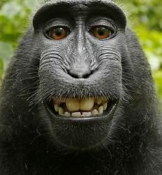 이렇게까지 웃었는데 돈 안 줘?   원숭이가 저작권료 25% 챙겼다