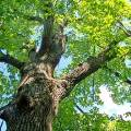 임종 앞둔 남편이 벌인 개오동나무 벌목 소동