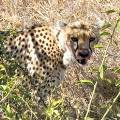 탄자니아 세렝게티, 3m 앞에서 가젤 뜯던 치타와 눈 마주쳤다
