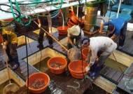 [굿모닝 내셔널]동해 아닌 서해 태안에 오징어 황금어장 떳다