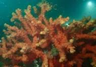 다도해 무인도에서 멸종위기 산호 서식지 발견
