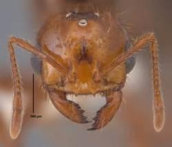한반도 노리는 붉은불개미…여왕 하루 알 1500개 낳아
