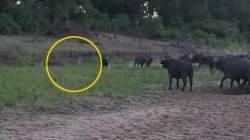 [영상] 사자 5마리의 탐욕…들소의 기사회생 '대반전'