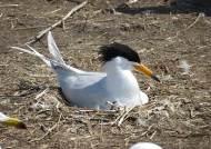 전세계 100마리도 안 되는 뿔제비갈매기, 국내 첫 발견