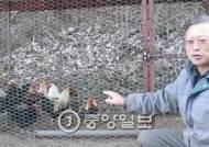 『본초강목』서 황계 접하고 재래닭 35년간 복원