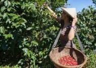 하얀 커피꽃, 진향 커피향 … 해발 1500m의 베트남 '낙원'