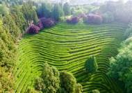 [굿모닝 내셔널]CNN도 놀란 300만평 초록의 향연…보성 녹차밭의 향기