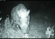 경북·강원 백두대간은 멧돼지 잡는 사파리장?