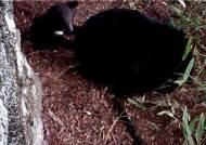 지리산 반달가슴곰도, 소백산 여우도…출산 겹경사