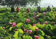 [굿모닝 내셔널]20만㎡ 정원에 핀 연꽃 봉우리들…양평 두물머리 '세미원' 연꽃문화제