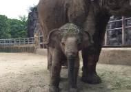 물에 빠져 스타된 아기코끼리 희망이, 내일 돌잔치