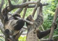 [굿모닝 내셔널]귀찮아 짝짓기 피하던 나무늘보, 넷째까지 낳고 '다산왕' 된 사연