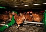 [르포]'동물복지' 산란계 농장에선 '살충제 계란' 없었다