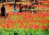 [THIS WEEK]이번 주말엔 단풍 말고 가을<!HS>꽃<!HE> 구경