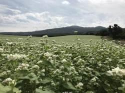[굿모닝 내셔널] 언덕 위로 펼쳐진 꽃의 향연 … 제주는 지금 메밀꽃 필 무렵