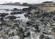 회색빛 제주 바닷가 갯바위, 원주민들에게 변색 원인 물어보니