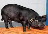 '치매 유전자 보유' 돼지 제누피그 복제 기술 특허 취득