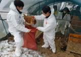 평창·강릉 AI 발병 안했는데 닭 잡는 이유