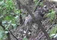 주왕산국립공원에서 멸종위기 산양 최초 발견
