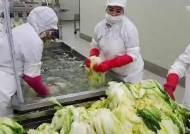 솎고 절이고 씻고 … 괴산 절임배추 생산공장, 하루가 짧다