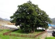 전라도 1000년 대표할 나무 SNS로 뽑는다