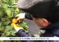 [굿모닝 내셔널] 감귤 말고 샛노란 제주 레몬…외국산보다 신선해 인기