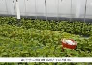 [굿모닝 내셔널]깻잎 팔아 500억 매출… '금산=인삼' 옛말, 이제는 '깻잎'