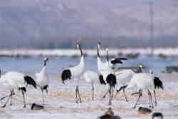 철원 평야…전세계 두루미 30% 찾는 '철새 낙원'된 이유는