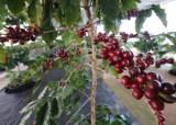 [더,오래] 새들이 지저귀는 농장서 자라야 참 커피
