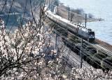 매화·<!HS>벚꽃<!HE> 흐드러지는 계절 … 경남 곳곳서 봄축제