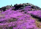 [굿모닝 내셔널]한국을 대표하는 봄꽃은?...오는 5월 가장 큰 진달래 나무 공개