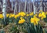 [돈 아끼는 여행 꿀팁] 새단장한 곤지암 화담숲, 4월 중순까지 야생화 축제