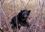 [강찬수의 에코파일]지리산 곰 50마리…복원 목표 달성했다