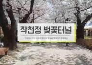 [굿모닝 내셔널] 80년 된 벚나무에서 흩날리는 벚꽃 눈