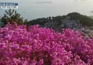 [서소문사진관]붉은 양탄자를 깔아 놓은 듯. 국내 3대 진달래 군락지 대금산의 봄빛