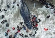 [서소문사진관]해변 밀려온 혹등고래, 20시간 구조 노력에도 숨져