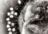 [강찬수의 에코파일] 항생제 내성균 내게 맡겨 … '마법의 탄환' 박테리오파지