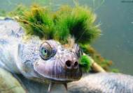 멸종 위기에 처한 '녹색 모히칸' 헤어스타일 호주 거북