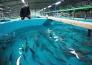 동해안에 명태 돌아왔나…강원 고성 앞바다서 200여 마리 잡혀