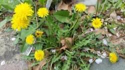 네 잎 클로버보다 귀해진 토종 민들레 구별하는 법