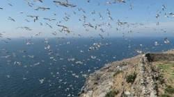 5만 괭이갈매기에 점령당한 홍도…휴게소 뺏긴 철새들