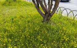 [권혁재 핸드폰사진관] 길가의 노란 꽃, 너는 누구냐?